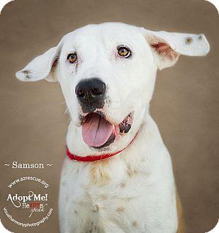 St. Bernard/Labrador Retriever Mix Dog for adoption in Phoenix, Arizona - Samson