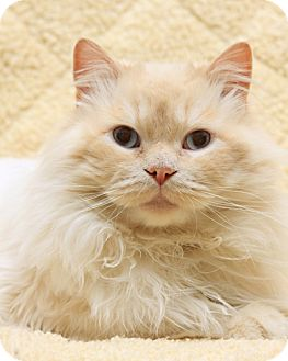 Siamese Cat for adoption in Bellingham, Washington - Cyrus