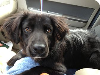 Border Collie/Spaniel (Unknown Type) Mix Dog for adoption in Olive Branch, Mississippi - Wrigley is So Gentle