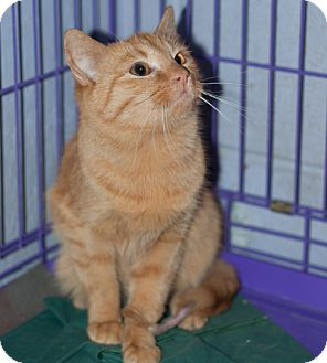 Domestic Shorthair Cat for adoption in New Martinsville, West Virginia - Grover