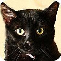 Domestic Mediumhair Cat for adoption in Palo Alto, California - Alice