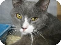 Domestic Shorthair Cat for adoption in Voorhees, New Jersey - Muggs