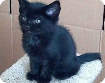 Domestic Mediumhair Kitten for adoption in Phoenix, Arizona - Sora