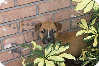 Shepherd (Unknown Type)/Hound (Unknown Type) Mix Puppy for adoption in Wellington, Florida - ROSCO