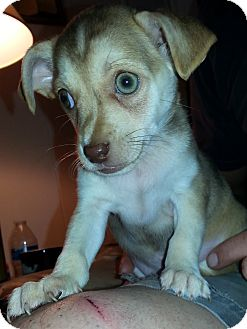 Cardigan Welsh Corgi/Rat Terrier Mix Puppy for adoption in Santa Ana, California - Wyatt