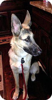 German Shepherd Dog Dog for adoption in Sacramento, California - Braxton