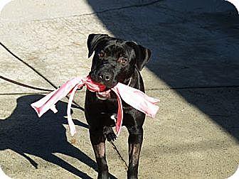 Labrador Retriever Mix Dog for adoption in Sunnyvale, California - Angus