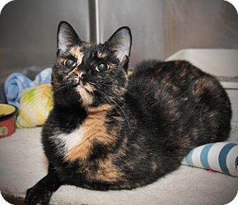 Domestic Shorthair Cat for adoption in East Norriton, Pennsylvania - Belinda