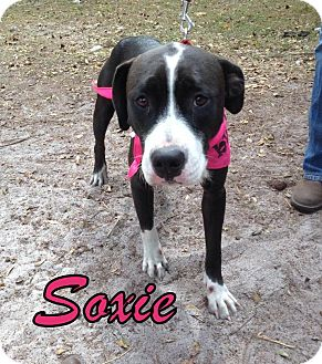 Boxer/Hound (Unknown Type) Mix Dog for adoption in Groveland, Florida - Soxie (1-2 years)