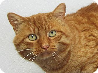 Domestic Shorthair Cat for adoption in Republic, Washington - Longspur