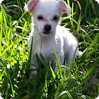 Adopt A Pet :: LISA MARIE - Torrance, CA