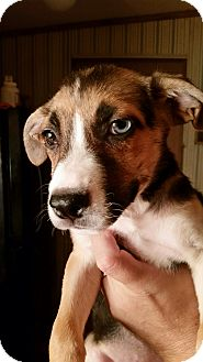 Labrador Retriever/Siberian Husky Mix Puppy for adoption in Tucson, Arizona - Millie