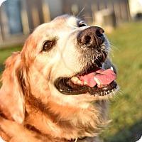Adopt A Pet :: Boomer - New Canaan, CT