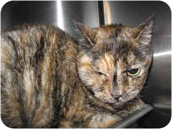 Domestic Shorthair Cat for adoption in South Lake Tahoe, California - Betty