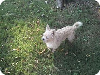 Yorkie, Yorkshire Terrier/Chihuahua Mix Dog for adoption in Decatur, Alabama - Sparky