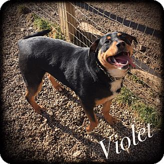 Rottweiler Mix Dog for adoption in Woodsfield, Ohio - Violet