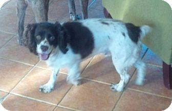 Cocker Spaniel Dog for adoption in Rigaud, Quebec - Coca