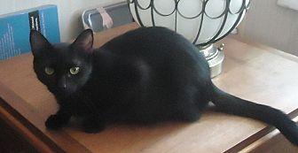 Domestic Shorthair Cat for adoption in Dale City, Virginia - Sherah