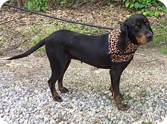 Black and Tan Coonhound Mix Dog for adoption in Richmond, Virginia - Beatrice