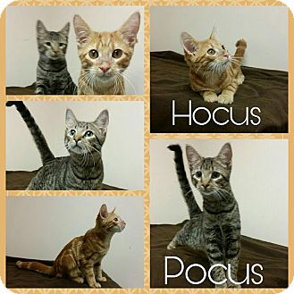 American Shorthair Kitten for adoption in Steger, Illinois - Hocus and Pocus