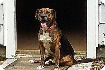 Beagle/Retriever (Unknown Type) Mix Dog for adoption in Burlington, Vermont - Buckshot(40 lb) Best Dog Ever!