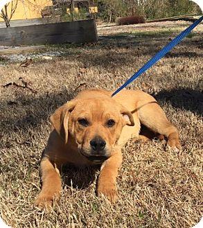 Golden Retriever/Labrador Retriever Mix Puppy for adoption in Harrisonburg, Virginia - Earl