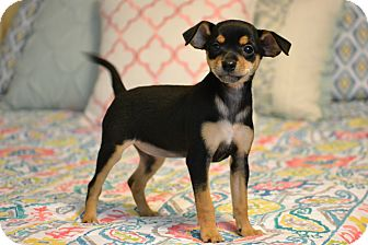 Miniature Pinscher/Chihuahua Mix Puppy for adoption in Allentown, Pennsylvania - Fizz