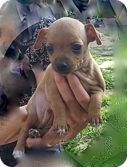Jack Russell Terrier/Dachshund Mix Puppy for adoption in Englewood, Colorado - BEETLE