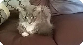 Maine Coon Cat for adoption in Kelso/Longview, Washington - Odin