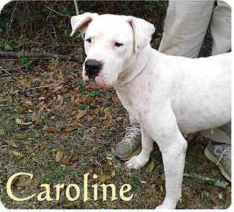 Dogo Argentino Mix Dog for adoption in Ozark, Alabama - Caroline