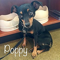 Adopt A Pet :: Poppy (Mary Poppins) - Los Angeles, CA