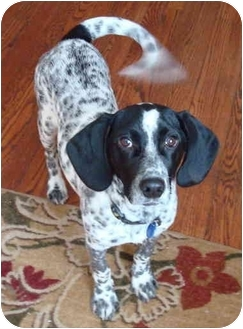 Beagle/English Setter Mix Puppy for adoption in Wood Dale, Illinois - Gatsby-ADOPT ION PENDING!