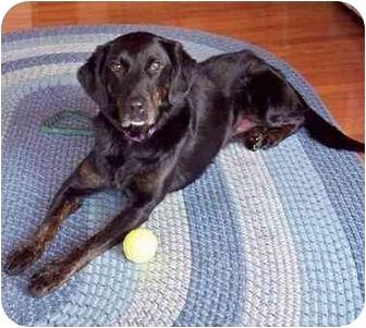 Labrador Retriever/Shepherd (Unknown Type) Mix Dog for adoption in Glenwood, Minnesota - Lily