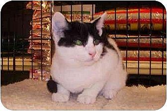 Domestic Shorthair Cat for adoption in Dale City, Virginia - Zorro