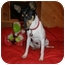 Photo 3 - Fox Terrier (Smooth) Mix Dog for adoption in Bedminster, New Jersey - Jetta