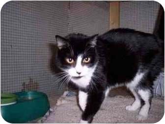 Domestic Shorthair Cat for adoption in Kingsport, Tennessee - Peepi