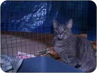 Domestic Shorthair Cat for adoption in LosAngeles, California - Moonbeam