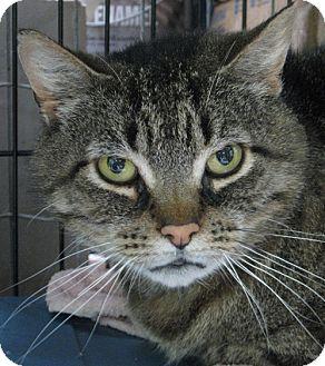 Domestic Shorthair Cat for adoption in Maple Ridge, British Columbia - Ferdinand