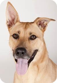 Shepherd (Unknown Type)/Labrador Retriever Mix Dog for adoption in Chicago, Illinois - Punky