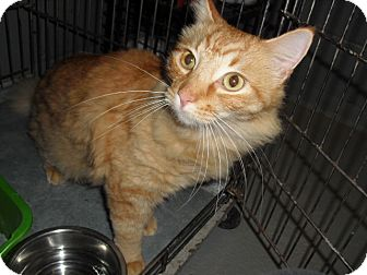 Domestic Mediumhair Cat for adoption in Granbury, Texas - Soda Pop