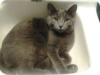 Russian Blue Cat for adoption in Warren, Michigan - Iron Man