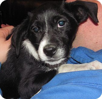 Border Collie/Labrador Retriever Mix Puppy for adoption in Lebanon, Maine - Roxanne-LOCAL