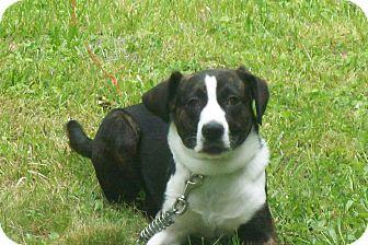 Plott Hound/Border Collie Mix Dog for adoption in corbin, Kentucky - Scout