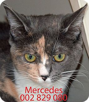 Calico Cat for adoption in Diamond Springs, California - Mercedes