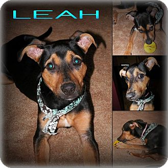 Doberman Pinscher/Rottweiler Mix Puppy for adoption in DOVER, Ohio - Leah