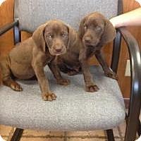 Adopt A Pet :: Jesse Girl - Marlton, NJ