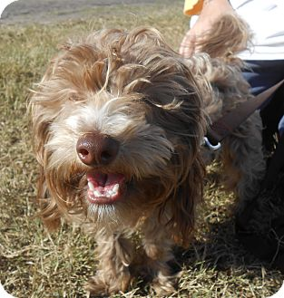 Havanese Mix Dog for adoption in Lockhart, Texas - Luke
