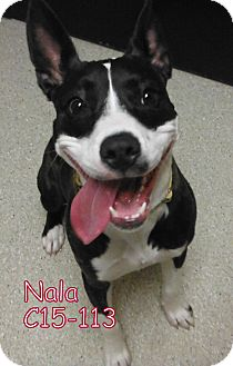 Pit Bull Terrier Mix Puppy for adoption in Tiffin, Ohio - Nala