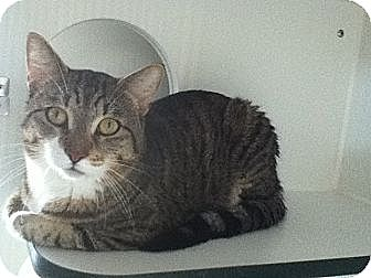 Domestic Shorthair Cat for adoption in Hamilton, Ontario - Ivon