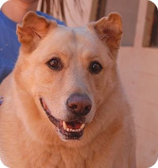 Retriever (Unknown Type)/Husky Mix Dog for adoption in Las Vegas, Nevada - Paul